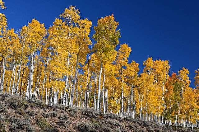 Cette colonie Pando de peupliers faux-trembles (Populus tremuloides), située à l'ouest des États-Unis, dans l'Utah, est considérée comme l'organisme vivant le plus lourd et le plus âgé de la Planète, avec un poids estimé à 6.000 tonnes et un âge de 80.000 ans. © J. Zapell, Wikimedia Commons, DP