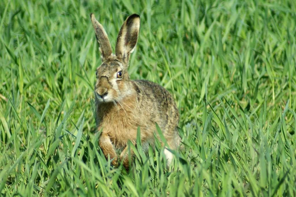 Bout des oreilles noir, tête allongée, iris jaunâtre : pas de doute, nous avons affaire ici à un lièvre, ou à sa femelle, la hase. © Rowena, Pixabay, DP