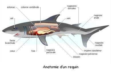 Anatomie complète du requin. © DR