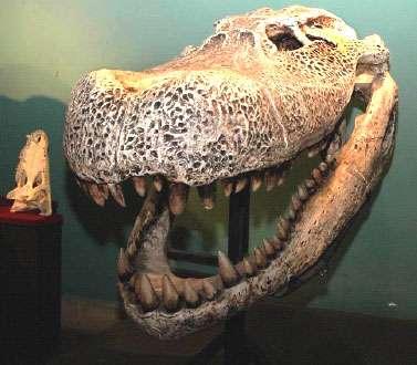 Reconstitution du crâne du Purussaurus réalisée par le MUSM (comparé au grand caïman noir actuel). © François Pujos (IFEA)