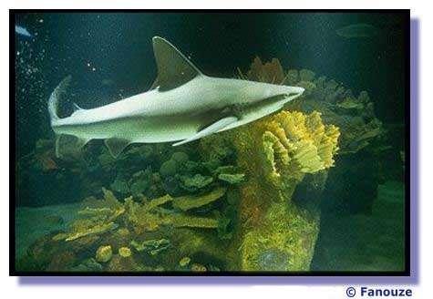 La protection des requins, un enjeu pour la planète. © Fanouze