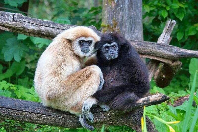 Gibbon à mains blanches (Hylobates lar) sur une branche. © Matthias Kabel, CC by 2.5