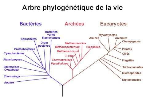 L'arbre phylogenetique de la vie, basé sur une origine ARN proposé par Carl Woese dès 2006 et montrant la séparation entre bacteries, archées et eucaryotes. Source : NASA Astrobiology Institute