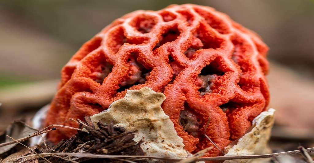 Le clathre rouge (Clathrus ruber) est aussi appelé « cœur de sorcière ». © Digoarpi, Shutterstock