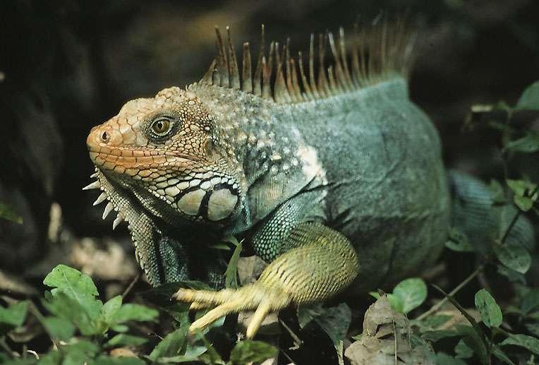 L'iguane vert (Iguana iguana) mesure jusqu'à deux mètres de long. © Sylvain Lefebvre et Marie-Anne Bertin, DR