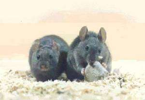 Chez la souris, on peut semble-t-il réparer les cônes de la rétine. Pourquoi pas chez l'Homme ? Crédit : LEEC-CNRS U2413