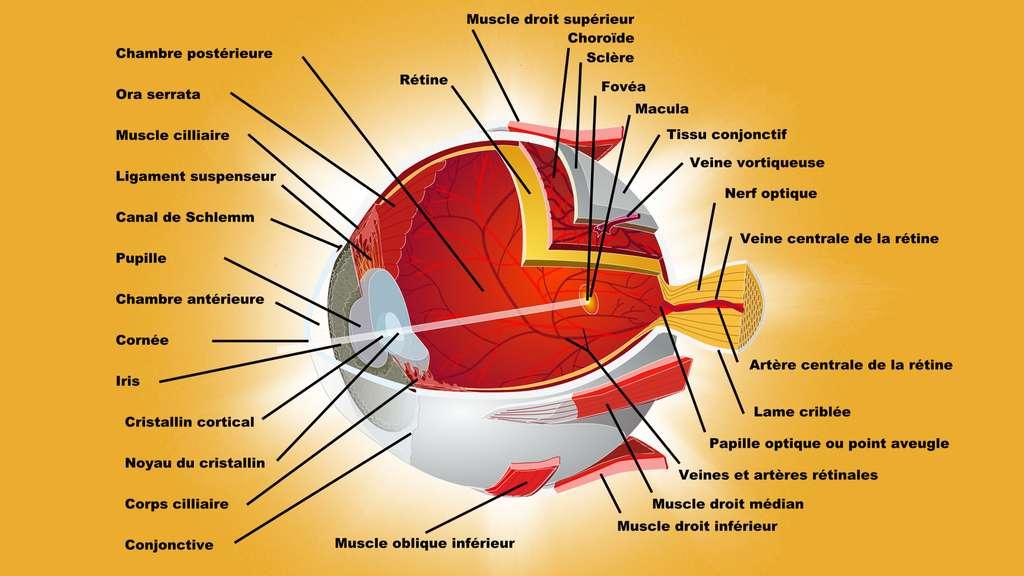 Schéma de l'œil : organisation interne et enveloppes du globe oculaire