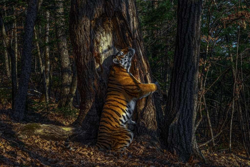 Le tigre de Sibérie est toujours menacé par le braconnage et par l'exploitation forestière. © Sergey Gorshkov, Wildlife Photographer of the Year 2020