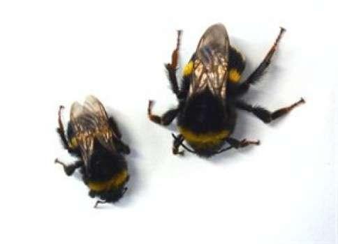 Au sein des colonies de bourdons étudiées, les ouvrières exposées au pyréthrinoïde ont présenté un poids sec moyen de 0,055 g. Il est nettement inférieur à la moyenne obtenue chez les individus témoins, soit 0,066 g. © Royal Holloway University of London