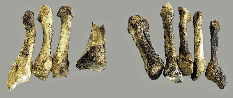 Fig. 15 - Pieds d'Arégonde, comparaison entre les métatarsiens gauches et droits. © Cl. Rücker