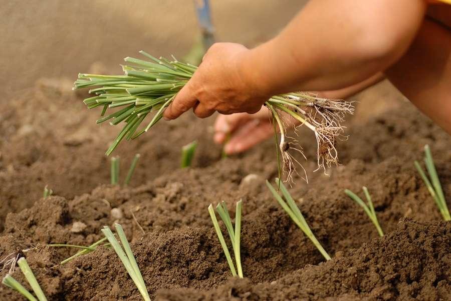 Repiquage de jeunes plants de poireaux. © Olivier Le Moa, Adobe Stock