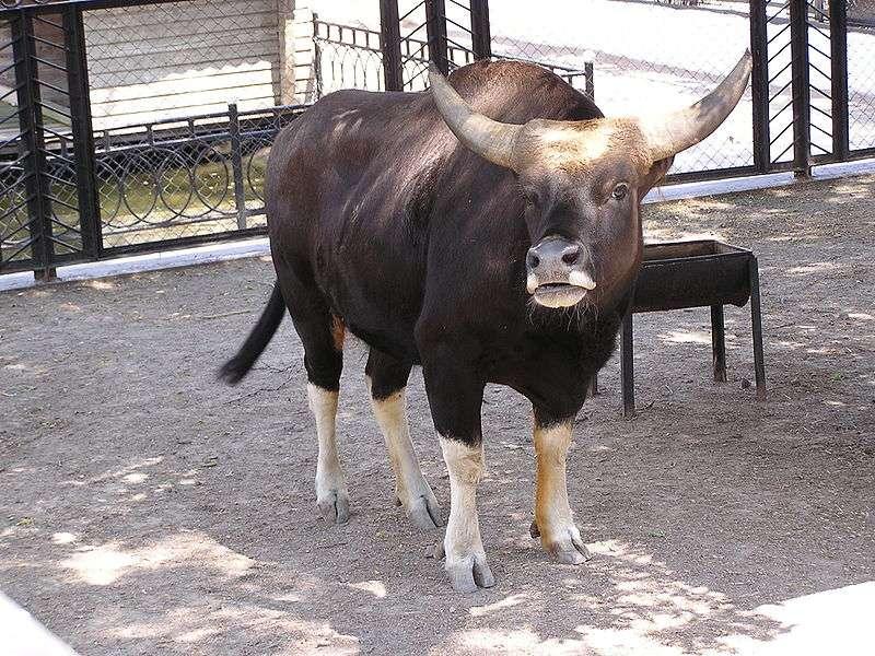 Banteng. © Andrew Butko, GNU FDL Version 1.3
