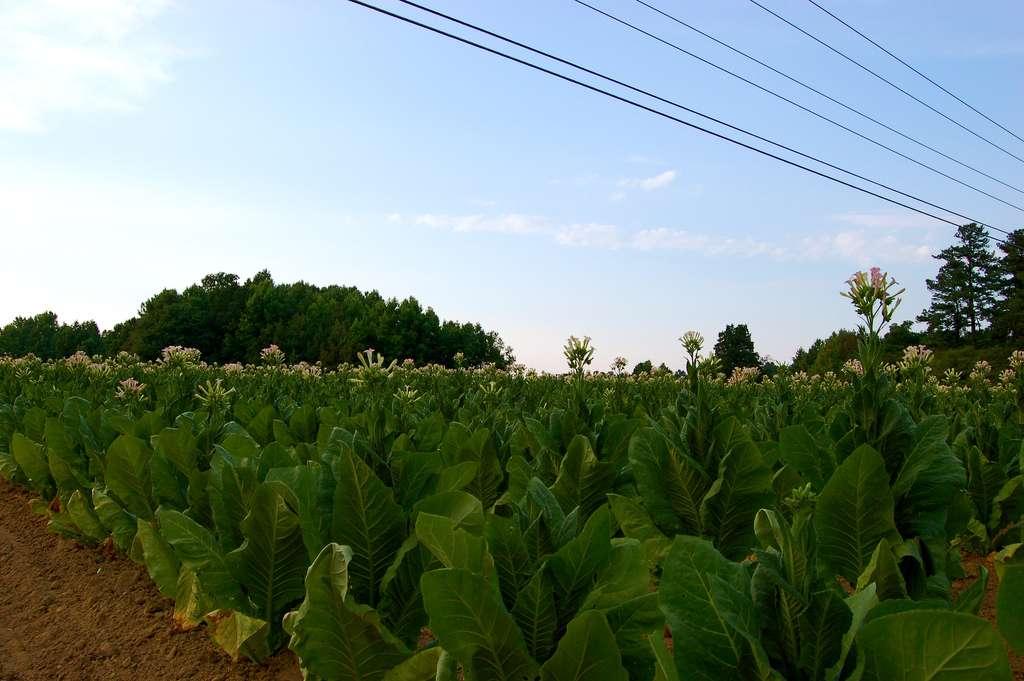 Le genre Nicotiana inclut l'espèce Nicotiana tabacum, c'est-à-dire le tabac. Les feuilles de cette plante produisent des alcaloïdes composés à 93 % de nicotine. © taberandrew, Flickr, cc by 2.0