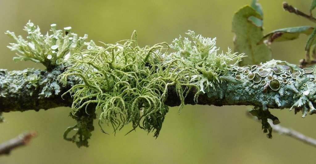 Lichen : symbiose lichénique entre le champignon et l'algue. © Makamuki0, CCO