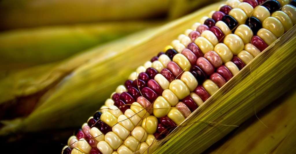 En savoir plus sur le maïs. © Rory MacLeod, CC by-nc 2.0