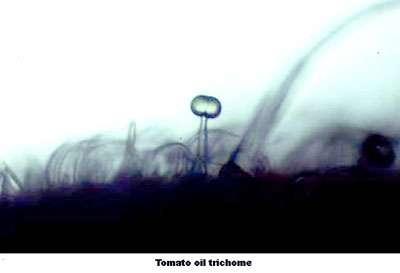 Trichome de tomate. © DR
