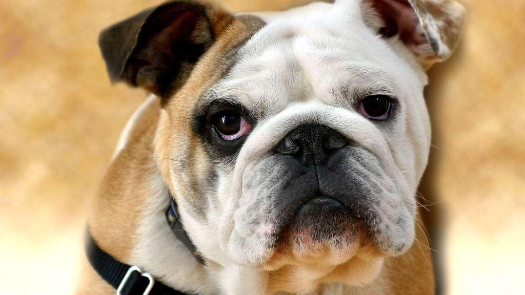 Le bulldog anglais, un ancien combattant