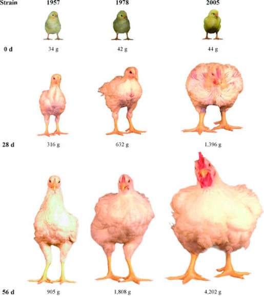La taille des poulets d'élevage a été multipliée par quatre entre 1957 et 2005. © MJ Zuidhof al.,Poultry Science, 2014