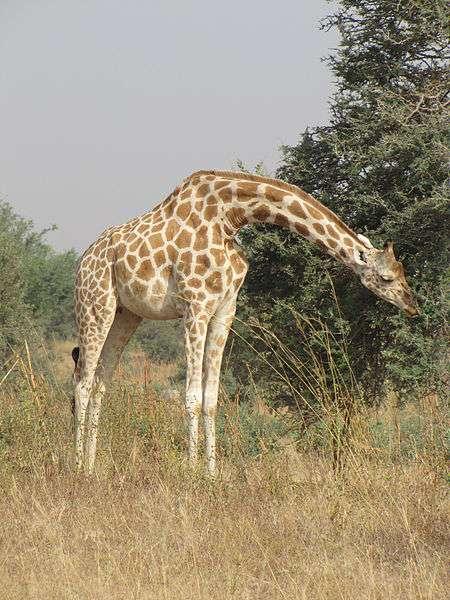 Girafe blanche broutant des feuilles d'acacia. © Yann Fauché, Alma Mulalic, Wikipédia, CC by-sa 3.0