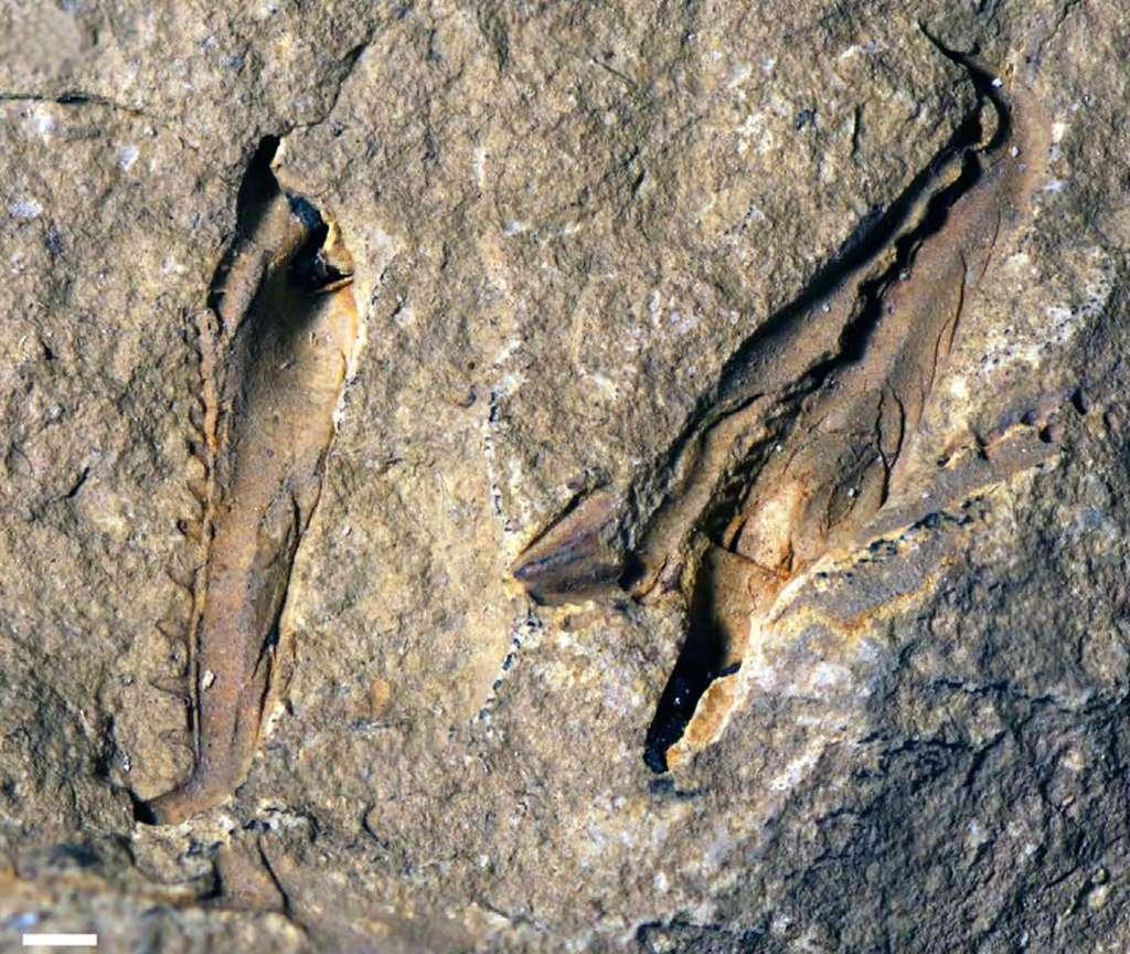 Deux scolécodontes, c'est-à-dire une mâchoire fossile d'un ver marin. La barre d'échelle blanche, en bas à droite, mesure 1 mm. Ces deux lames coupantes atteignent le centimètre et appartenaient, il y a 400 millions d'années, à un ver marin eunicidé disparu, Websteroprion armstrongi. © Luke Parry