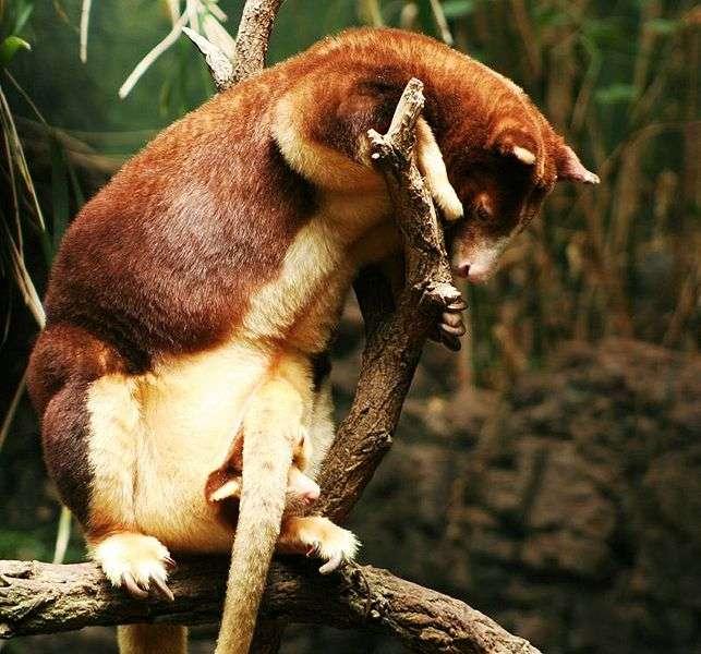 Femelle dendrolague de Matschie et son petit dans le marsupium. © Cyndy Sims Parr, Wikipédia, cc by sa 2.0