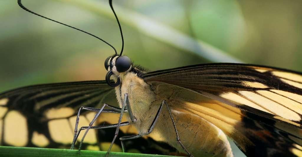 Le papillon, un indicateur de l'état de santé des milieux naturels. © Richard Bartz, Wikimedia commons, CC by-sa 2.5