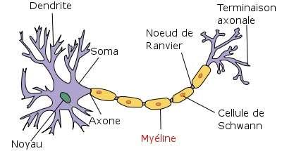 Voici à quoi ressemble un neurone (en violet). L'axone est entouré d'une gaine lipidique, servant à isoler électriquement les fibres nerveuses, à l'instar du plastique sur les câbles électriques : c'est la myéline. Lorsque celle-ci est détruite, l'information nerveuse circule mal et ne peut atteindre les organes ciblés, ce qui peut conduire à la paralysie. © Selket, Wikipédia, cc by sa 3.0