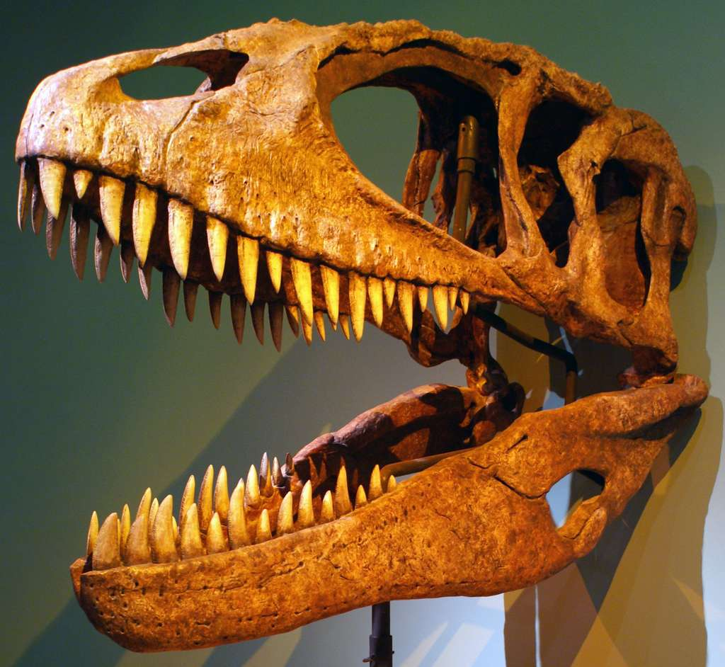 Ici, le crâne reconstitué d'un Carcharodontosaurus. © Franko Fonseca, Wikipedia, CC by-SA 2.0