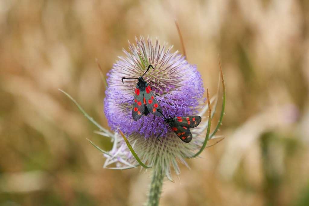 La zygène de la Filipendule, une espèce de lépidoptères (papillons) qui apprécie les fleurs des champs. © Graeme Green, tous droits réservés