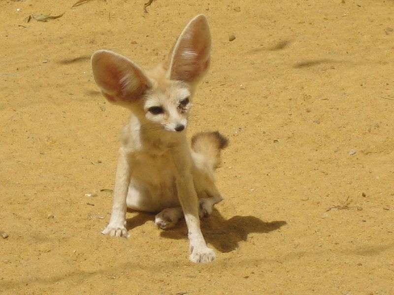 Fennec dans le désert. © kkonstan - GNU FDL Version 1.2