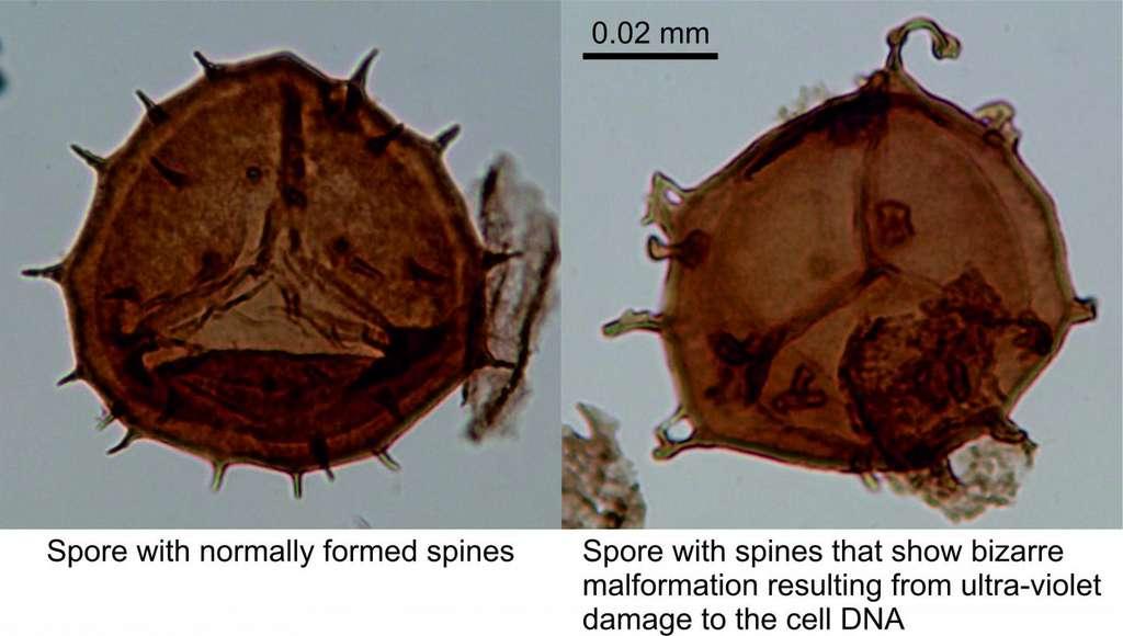 À gauche, une spore normale, à droite, une spore présentant des malformations que les chercheurs de l'université de Southampton interprètent comme dues à des dommages causés à leur ADN par des rayonnements ultraviolets (UV). © Université de Southampton