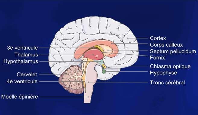 Schéma du système cérébral. Il est le siège de la pensée comme de troubles comme les Toc. © Servier Medical Art