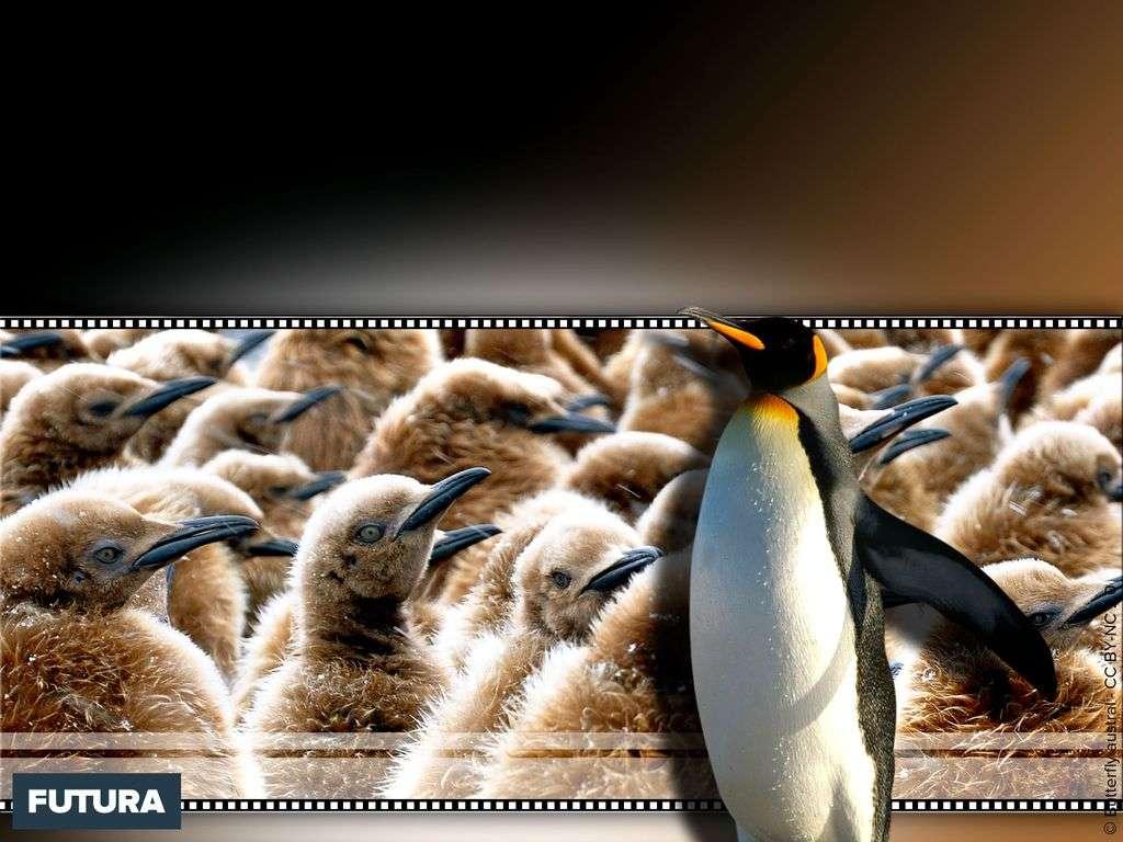 Jeunes pingouins King