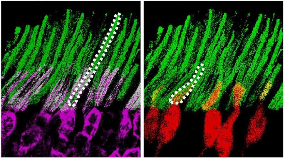 Les nanoparticules (en blanc) se fixent aux bâtonnets (en violet) et aux cônes (en rouge) pour jouer le rôle de « traducteur » de la lumière IR et lumière visible. © Yuqian Ma et al, Cell, 2019