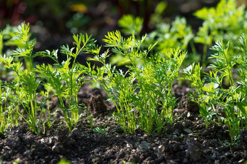 L'éclaircissage des rangs de jeunes carottes est indispensable. © Petra Fischer, Adobe Stock
