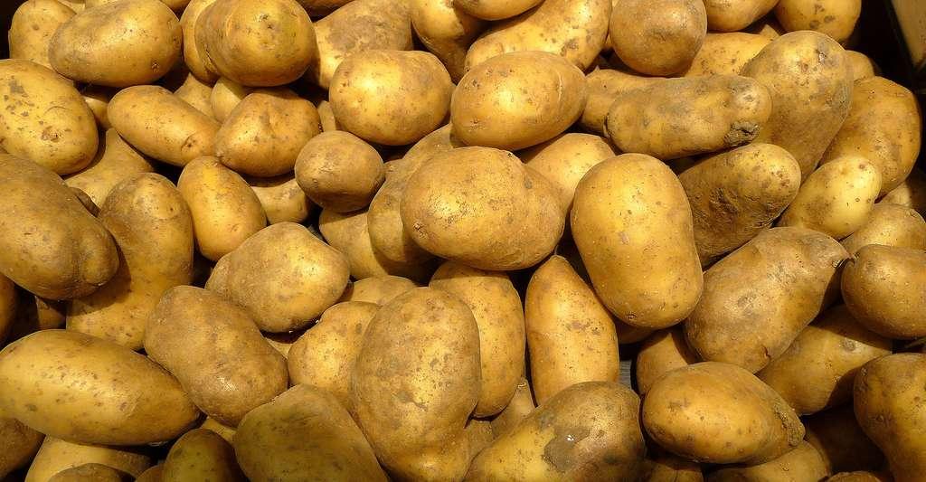 La pomme de terre Charlotte est un exemple de pommes de terre à chair ferme. © DP
