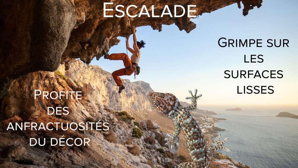 Le gecko, champion de l'escalade