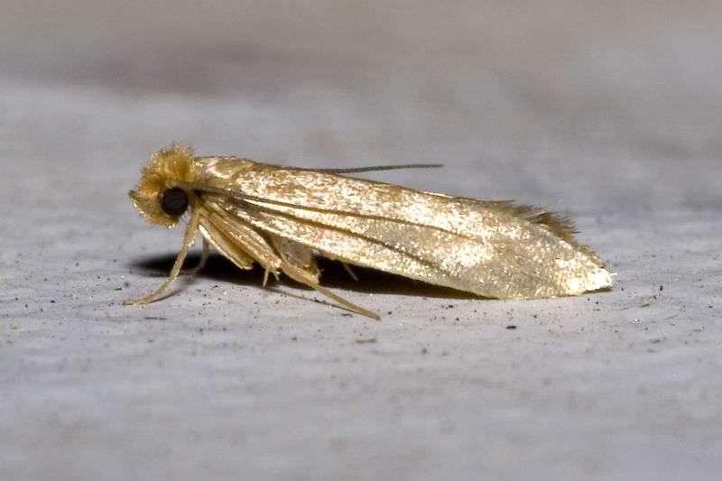 Tineola bisselliella est un lépidoptère de la famille des Tineidae, qui se développent sur les cadavres en décomposition. © Olaf Leillinger, Wikimedia, CC by-sa 2.5