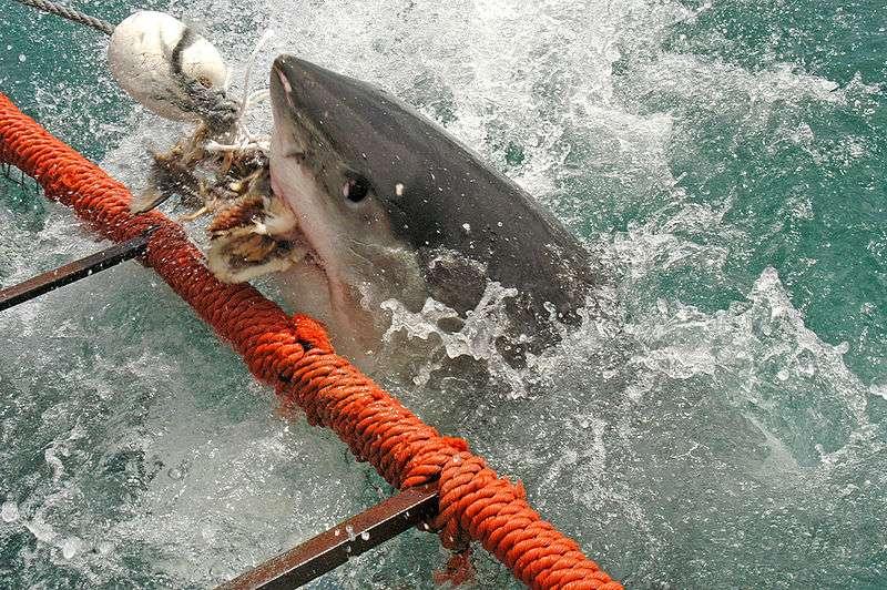 Requin blanc se jetant sur un appât. © Pietervisser, GNU FDL Version 1.2