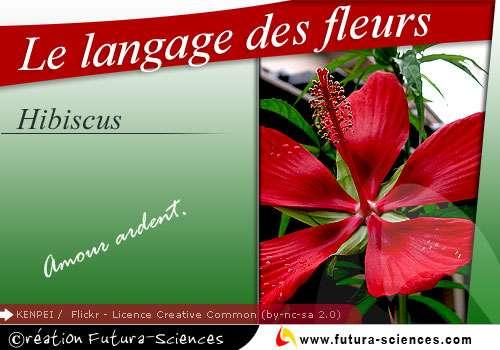 Hibiscus, amour ardent