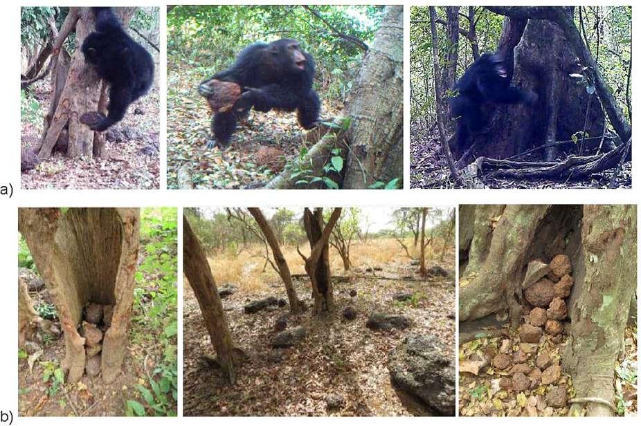 En a), un chimpanzé mâle crie et lance violemment une pierre contre un arbre, sur le site Boé, en Guinée-Bissau. En b), les accumulations de pierres qui résultent de ce comportement, régulièrement répété. © Hjalmar S. Kühl et al., Nature