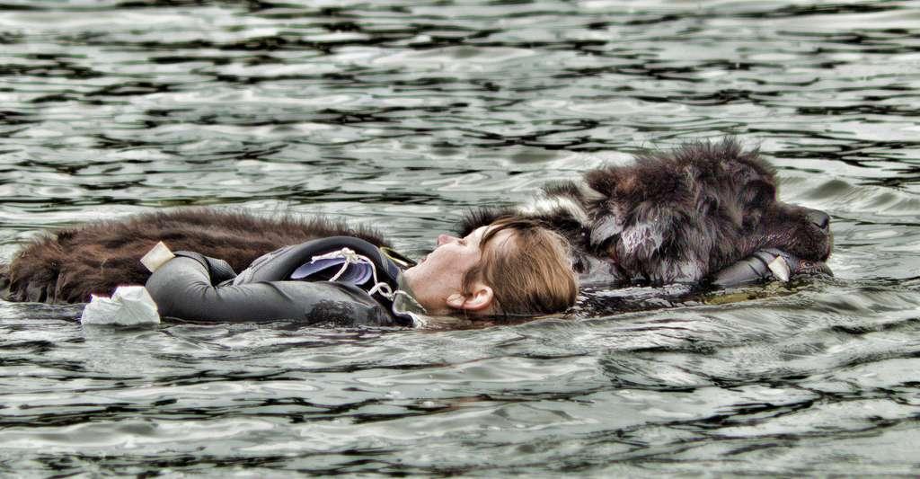 Terre-neuve, chien sauveteur. © Antony ***, Flickr, CC by-nc 2.0