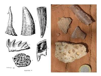 À gauche, la première illustration de vertébrés des Kem Kem par Choubert et al. en 1952. La dent en haut à droite, attribuée par Choubert à un crocodile, est probablement une dent de Spinosaurus. À droite, collecte de surface dans les Kem Kem. © DR