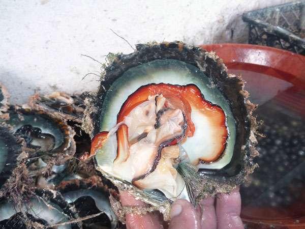 Jusqu'au milieu du XXe siècle, les huîtres P. margaritifera sauvages étaient récoltées uniquement pour leur nacre. Parfois, une perle naturelle était découverte. La première greffe a été réalisée en 1961. La première exploitation perlicole a vu le jour en 1968. À la fin des années 1980, l'archipel connaît une ruée vers la perle noire, avec des milliers de Polynésiens mais aussi d'étrangers venant travailler dans ces contrées éloignées. © IRD, B. Bourgeois