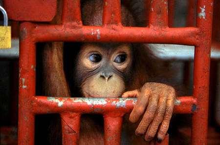 Il faut sauver les grands singes
