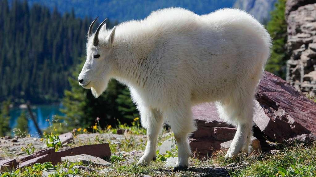 La chèvre des montagnes Rocheuses