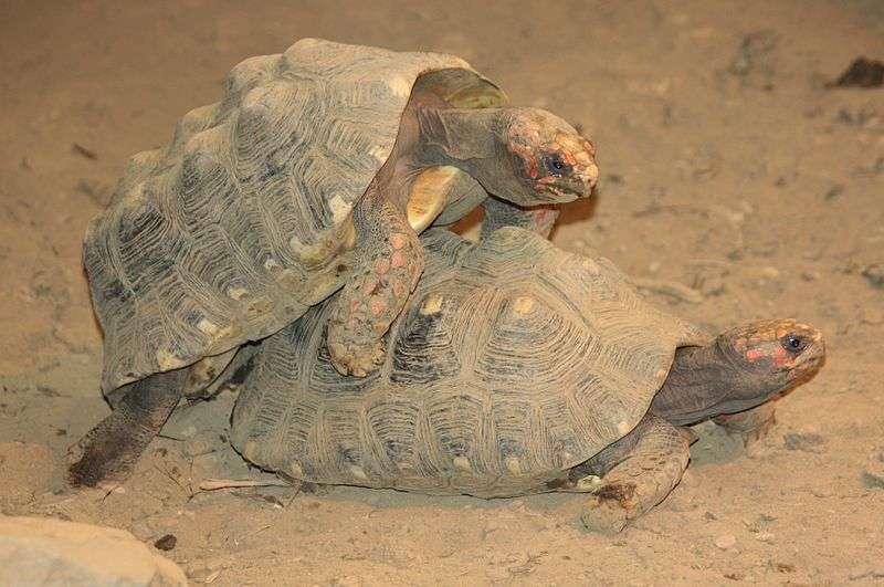 Accouplement de tortues charbonnières à pattes rouges. © Ltshears, Wikipédia, GNU 1.2