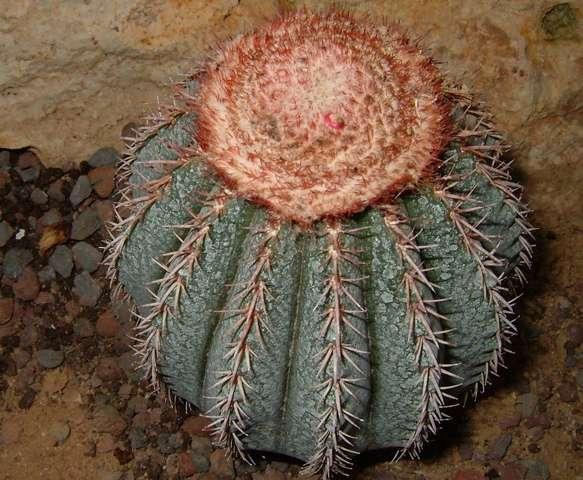 Mellocactus disciformis