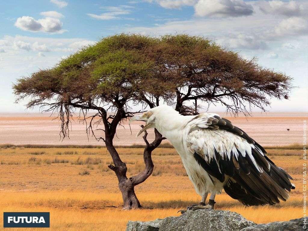 Aigle Palmiste africain