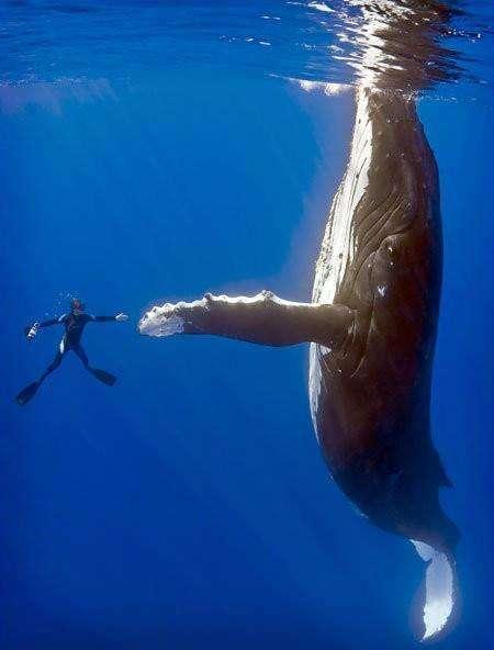 Baleine et homme, une différence de taille !